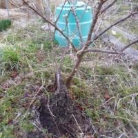 サクランボの木が枯れてしまった