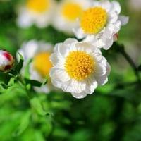 花かんざし 花言葉 (変わらぬ思い)