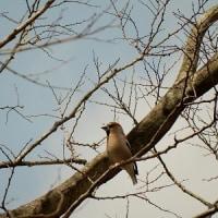 遠目で何の鳥かは不明=シメシメ