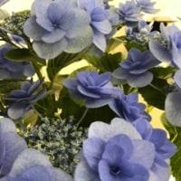 紫陽花の存在感