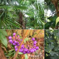 棕櫚と紫式部と