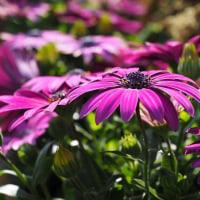 長居植物園「早春の草花展」 その3