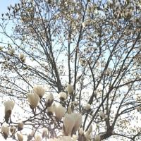 道端の白木蓮も満開
