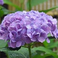 庭で咲く「紫陽花」(その1) !!