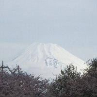 今日の富士山と桜