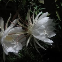 月下美人の開花!