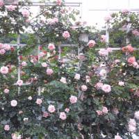 530種・4700株のバラがある生田バラ苑・前編