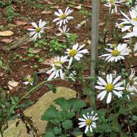 チョウセンノギク(朝鮮野菊)
