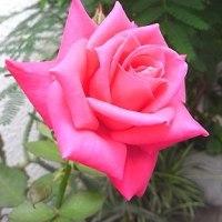 季節の花「薔薇(バラ)」