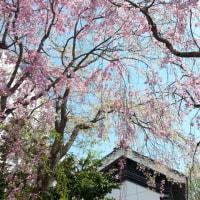 終わった~!桜さくぞ~♪
