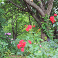 ~ 紫陽花と薔薇の中で ~