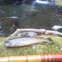 2017年渓流釣りー久しぶりの岩魚
