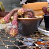サボテンや多肉植物も春を待っている。