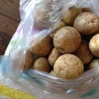 ◆白ナス1号収穫。
