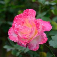 新宿御苑のバラ