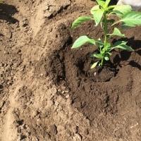 ピーマンの苗を3本植えましたの巻