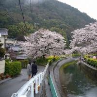 山科疎水と醍醐寺の桜、ついでにバランの花