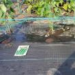 秋採り胡瓜の直蒔き