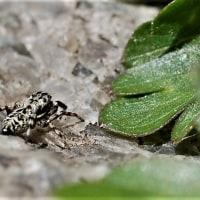 シラヒゲハエトリグモ