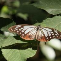 渡りをする蝶 アサギマダラ
