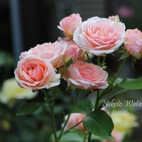 私の薔薇は一つではない