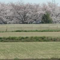 幸手権現堂、桜まつり、大渋滞!