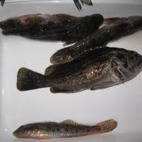 今日は周りが釣れない中、久々のチビセイゴ大漁