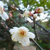269  早咲きの梅
