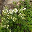 八方尾根の自然:一番多かったイワシモツケの花