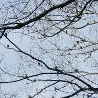 野鳥 アトリ