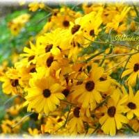 菊芋..ヒマワリの花に瓜二つ「ヘリアンサス」の花