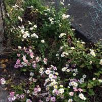 道ばたの菊