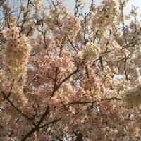 見事な桜の木
