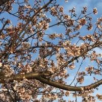 桜が咲いてたっ!