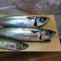 釣りたてのうまい魚は何か