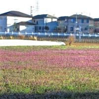 ホトケノザもこれだけ咲くときれいです。