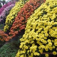 11月25日(金曜日)「菊屋敷」(あかねこさん)