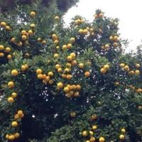 たわわに実る This tree have many fruits!