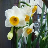 平和への希い666  ビワの花、この寒風の中たくましく