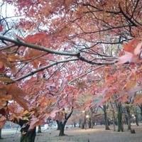 紅葉、黄葉の中に開花中の花もあります-代々木公園
