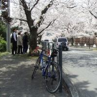 長瀞の桜2017