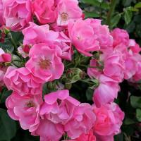 種松山の薔薇の花 2 in 岡山・倉敷市