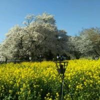 南阿蘇の大桜
