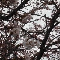 桜の花ももうすぐです。