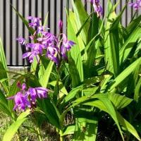 紫蘭(しらん)