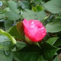 ダリヤの花..