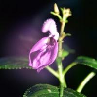 ブリランタイシア・デビリスの花
