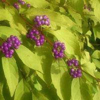 庭の花(フウセントウワタ、ツルヒメソバ、山茶花、コムラサキ)