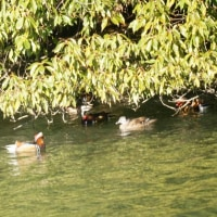 12/09探鳥記録写真-2(頓田貯水池の鳥たち:オシドリ他)