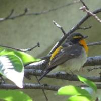 大阪城公園で探鳥!
